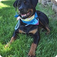 Adopt A Pet :: Rosy - LITTLETON, CO
