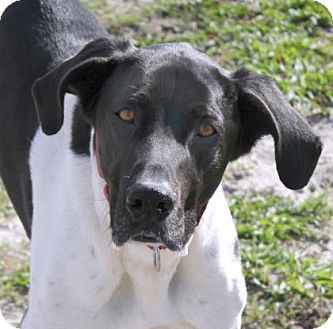 Great Dane Mix Puppy for adoption in Loxahatchee, Florida - Tre