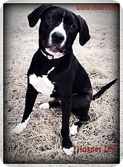 Labrador Retriever/American Staffordshire Terrier Mix Dog for adoption in Blacklick, Ohio - Harper Lee