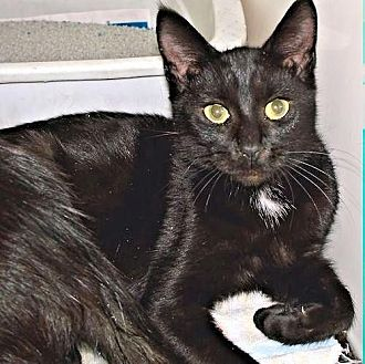 Domestic Shorthair Cat for adoption in Petersburg, Virginia - Breezy
