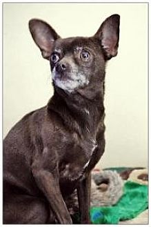 Chihuahua Dog for adoption in Mount Gretna, Pennsylvania - Rory