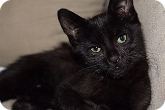 Domestic Shorthair Kitten for adoption in Berkeley Hts, New Jersey - Jack