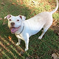 Pit Bull Terrier Dog for adoption in Loganville, Georgia - Jazzie