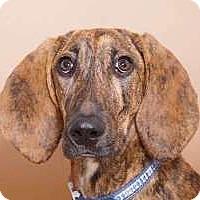 Adopt A Pet :: Freddy - Sudbury, MA
