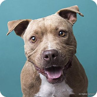 American Pit Bull Terrier Dog for adoption in Anniston, Alabama - Rosey