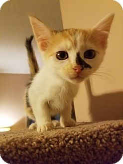 Domestic Longhair Kitten for adoption in Marietta, Georgia - Lisa