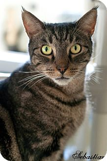 Domestic Shorthair Cat for adoption in Manahawkin, New Jersey - Sebastian