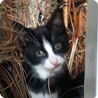 Adopt A Pet :: A..  Foxy - Mooresville, NC