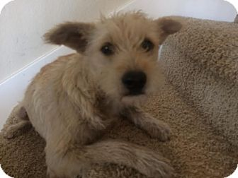 Cairn Terrier/Miniature Poodle Mix Dog for adoption in Rocky Hill, Connecticut - Pumpkin