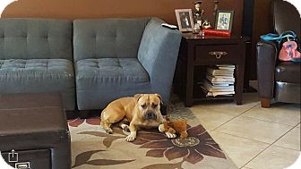 Bulldog/American Staffordshire Terrier Mix Dog for adoption in Portland, Oregon - savoy