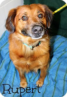 Retriever (Unknown Type) Mix Dog for adoption in Melbourne, Kentucky - Rupert