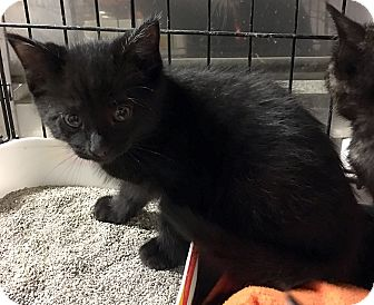 Domestic Mediumhair Kitten for adoption in Loogootee, Indiana - Wesley