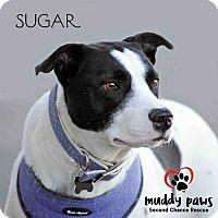 Adopt A Pet :: Sugar (Lab/Terrier) - Council Bluffs, IA