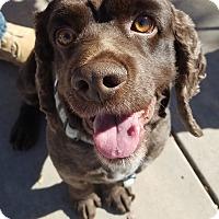 Adopt A Pet :: Choco Taco - Smithfield, NC
