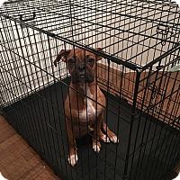 Adopt A Pet :: Asuka - Las Vegas, NV