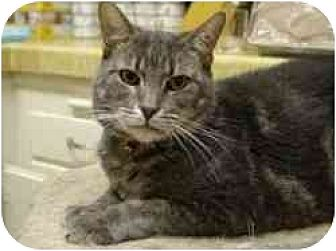 Domestic Shorthair Cat for adoption in Pasadena, California - Stacy