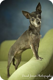 Chihuahua Dog for adoption in Anchorage, Alaska - Bitsy