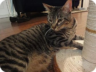 Domestic Shorthair Cat for adoption in Arlington/Ft Worth, Texas - Mr. Pickles
