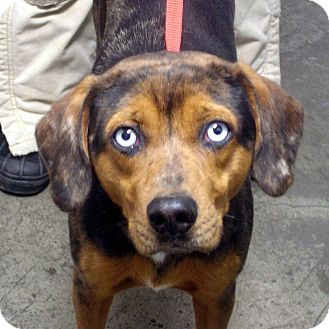 Catahoula Leopard Dog/Labrador Retriever Mix Dog for adoption in baltimore, Maryland - Marble
