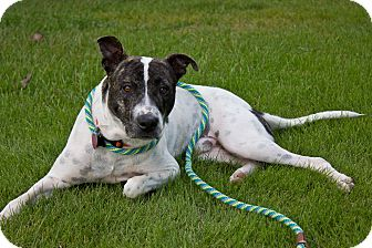 Staffordshire Bull Terrier Mix Dog for adoption in Homewood, Alabama - Alfie