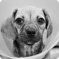 Adopt A Pet :: Maverick - Gainesville, FL