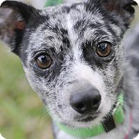 Adopt A Pet :: Angelo - Norwalk, CT