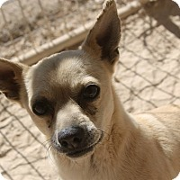 Chihuahua/Pug Mix Dog for adoption in Las Vegas, Nevada - Charlie