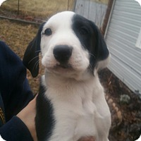 Adopt A Pet :: Merlin - Puppy! - Bend, OR