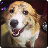 Adopt A Pet :: Hayley - Memphis, TN