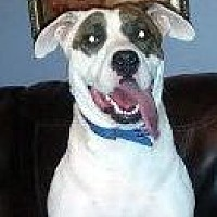 American Bulldog Mix Dog for adoption in Toledo, Ohio - Charlotte