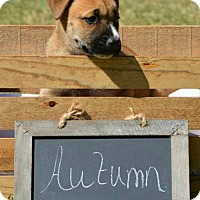 Adopt A Pet :: SEASONS PUPPIES - Powder Springs, GA