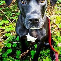 Boxer/Labrador Retriever Mix Dog for adoption in Tillamook, Oregon - Diesel