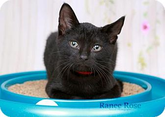 Domestic Shorthair Kitten for adoption in Sterling Heights, Michigan - Harvey