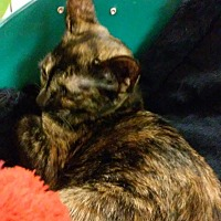 Adopt A Pet :: Sweet Pea - Yorba Linda, CA
