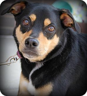 Shiba Inu/Miniature Pinscher Mix Dog for adoption in Round Lake Beach, Illinois - Dakota