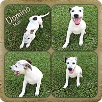 Adopt A Pet :: Domino in CT - Manchester, CT