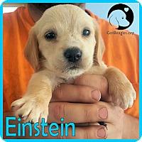 Adopt A Pet :: Einstein - Chicago, IL