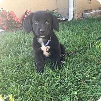 Adopt A Pet :: Jacy - New Oxford, PA