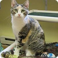 Domestic Shorthair Cat for adoption in Fargo, North Dakota - Adelia