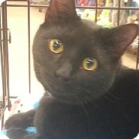 Adopt A Pet :: Blackie - Maryville, TN