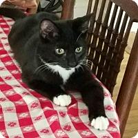 Adopt A Pet :: Domino - Horsham, PA