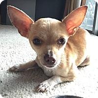 Adopt A Pet :: Cookie - Houston, TX