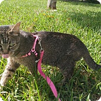 Adopt A Pet :: Amber - Davie, FL