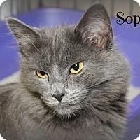 Domestic Longhair Kitten for adoption in Glen Mills, Pennsylvania - Sophie