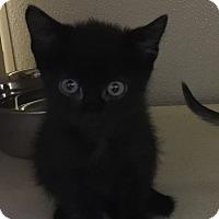 Adopt A Pet :: Chocolate - Richland Hills, TX