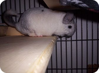 Chinchilla for adoption in Avondale, Louisiana - Ling
