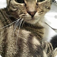 Domestic Shorthair Cat for adoption in Queensbury, New York - Mister