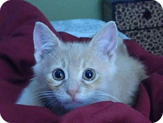 Domestic Shorthair Kitten for adoption in Fenton, Missouri - Heathcliff