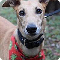 Adopt A Pet :: Paxton - Nashville, TN