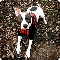 Adopt A Pet :: Daryl - ADOPTION PENDING - Warrenville, IL